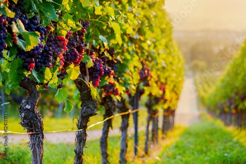 Foto op Plexiglas Wijngaard Weinberg mit roten Trauben bei Sonnenuntergang