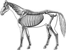 Vintage Image Horse Skeleton