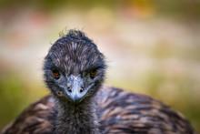 Emu Up Close