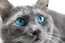 Gray Cat With Beautiful Blue E...