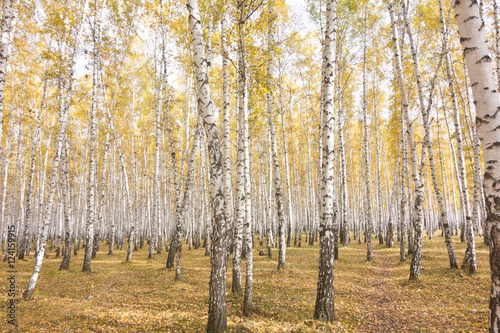 Deurstickers Berkbosje autumn birch forest