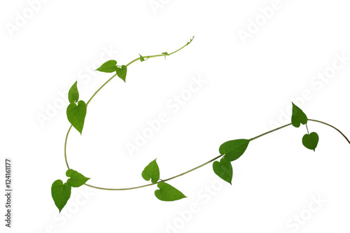 Fotografia  Heart shaped green leaf vines isolated on white background, clip