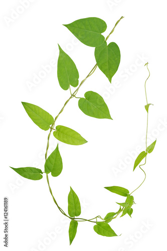 Fototapety, obrazy: Heart shaped green leaves twisted vines plant isolated on white background