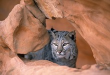Bobcat In Sandstone Formation