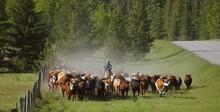 Cattle Herding, Alberta, Canada