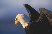 Bald Eagle With Wings Spread