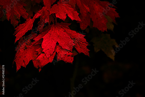 Photo  Colorful maple leaves in red