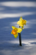 Two Daffodils In Snow