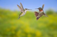 Ruby-Throated Hummingbird (Archilochus Colubris). Male & Female. Adult Males Have A Brilliant Red Throat And Black Chin. Fairly Common In Gardens, Nova Scotia, Canada.