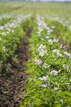 Flowering Potato Plants In Rows; Alberta, Canada