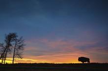 Buffalo At Sunset In Elk Island National Park; Alberta, Canada
