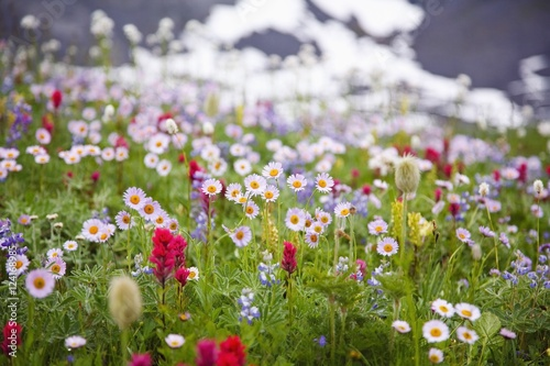 Wildflowers in Mt. Rainier National Park, Washington, USA - 124168985