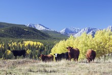 Cattle Grazing In Foothills, T...