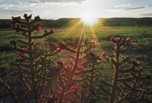 Sunset, Cane Cholla (Opuntia Spinosior)