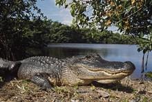 American Alligator (Alligator Mississippiensis), Coots Bay Pond, Everglades National Park, Florida, Usa