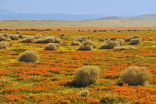 Antelope Valley California Poppy Reserve, Mojave Desert, Los Angeles County, California, United States Of America