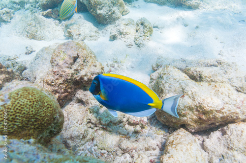 Photographie  Blue surgeon fish in shallow water, Maldives