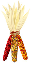 Vector Illustration Of A Bundle Of Colorful Autumn Corn.