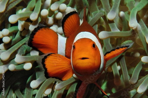 Fotografie, Tablou  Nemo and anemone