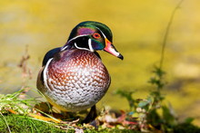 Wood Duck Male Or Carolina Duc...