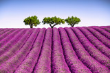 Fototapeta Lavender - Lavender and trees uphill. Provence, France