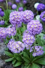 Purple Primula Denticulata Flowers