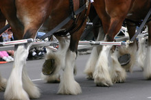 Detail, Clydesdale Horses Pull...