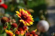 Gaillardia Or Blanket Flowers. Gaillardia Pulchella