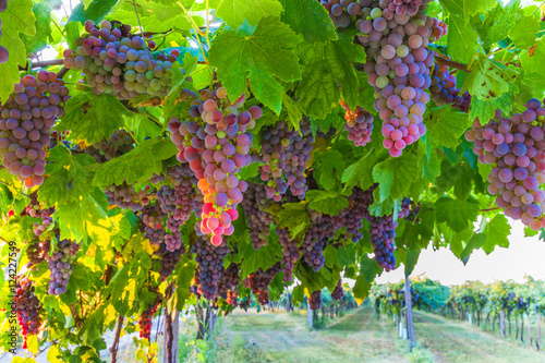 Fotografie, Obraz  Bunches of ripe grapes before harvest.