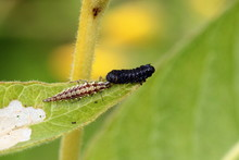Green Lacewing Larva Is Used Widely In Blological Control. Of Harmful Insects And Pests.
