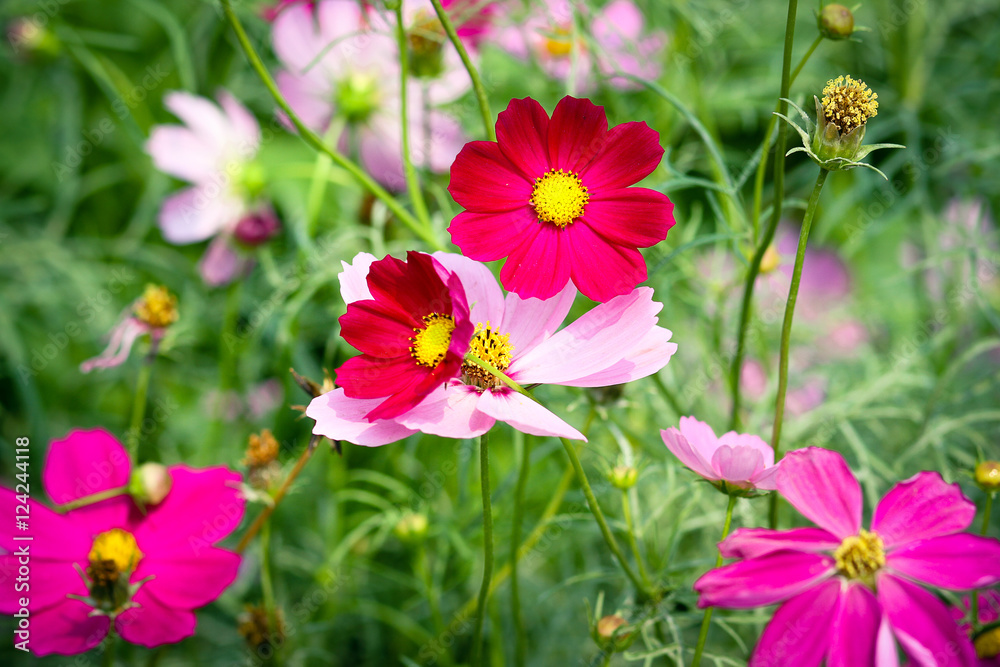 colourful Cosmos flowers blooming in the garden