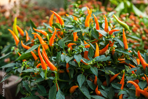 Small ripe orange chili peppers. Autumn harvest background Wallpaper Mural