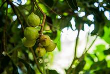 Macadamia On Tree