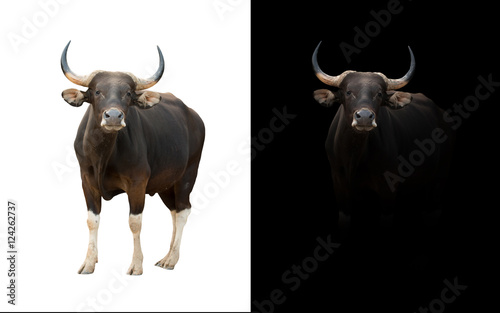 banteng in the dark and white background
