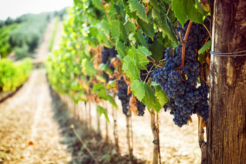 Toskanski vinograd s crvenim grožđem.