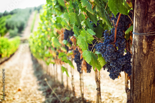 Tuscan vineyard with red grapes. Fototapet