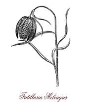Fritillaria Meleagris Or Chequ...