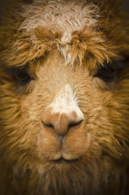 Close Up Of The Face Of A Llama;Cuzco Peru