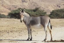 Somali Wild Ass (equus Africanus Somaliensis) Stands In An Arid Field;Israel