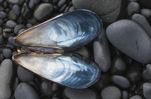 A Blue Mussel (Mytilus Edulis) Shell Rests On The Beach; Cannon Beach, Oregon, United States Of America