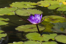 Water Lily In The Bethesda Fountain In Central Park, New York City, New York, United States