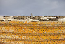 Pigeon On An Old Barn Roof With Rotting Shakes; St. Albert, Alberta, Canada
