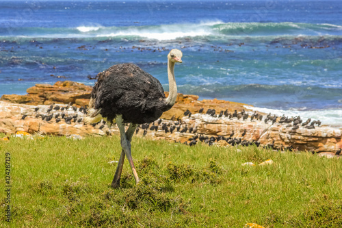 Fotografering  Front view of Ostrich walking in wild coast at the Cape of Good Hope in Table Mountain National Park, South Africa