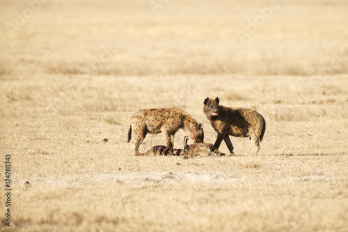 Two Spotted Hyenas (Crocuta crocuta) feeding on carcass of another Spotted Hyena, Ngorongoro Crater; Tanzania