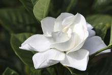 Image Of A Perfect Gardenia