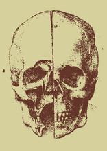 Skull Illustration / Leonardo Da Vinci  [vector]