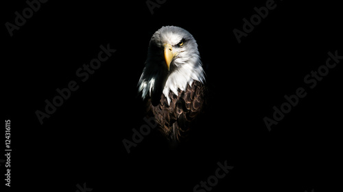 Foto auf Leinwand Adler Isolated Intense Eagle Stare