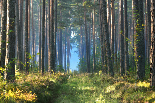 Fototapeten Wald Foggy sunrise in the deciduous forest in Latvia.