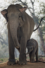 Mother Elephant And Her Calf In The Elephant Breeding Centre, Sa