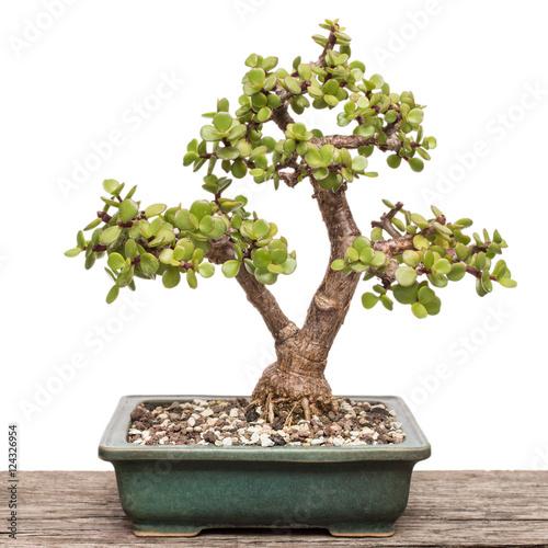 Speckbaum (Portulacaria afra) als Bonsai Baum